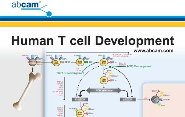 human t cell development pathway card