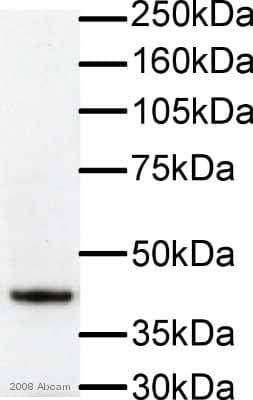Western blot - F-actin antibody [NH3] (ab205)