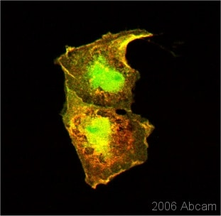 Immunocytochemistry/ Immunofluorescence - GFP antibody [LGB-1] (ab291)
