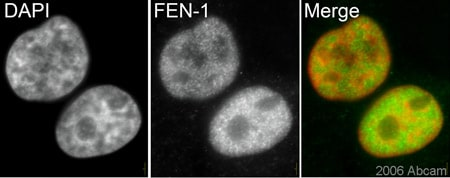 Immunocytochemistry/ Immunofluorescence - FEN1 antibody [4E7] (ab462)