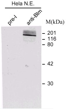 Western blot - Blooms Syndrome Protein Blm antibody (ab476)
