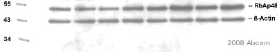 Western blot - RbAp48 antibody [11G10] (ab488)