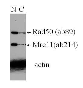 Western blot - Rad50 antibody [13B3/2C6] (ab89)