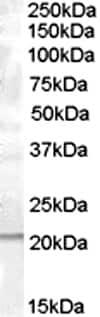 Western blot - PTP4A1 antibody (ab1368)