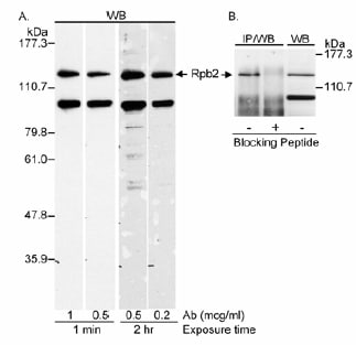 Western blot - RPB2 antibody (ab10338)