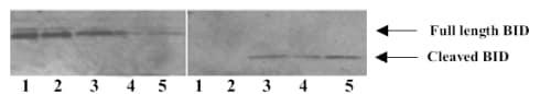 Western blot - Bid Cleavage Site antibody (ab10640)