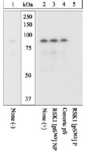 Western blot - RSK1 p90 (phospho S363) antibody (ab10696)