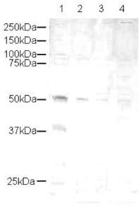 Western blot - CCN1 antibody (ab10760)