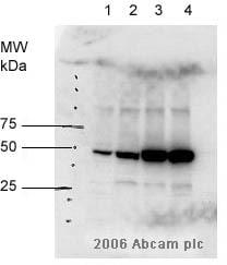 Western blot - Cig2 antibody [CIG 3A11/5] (ab10881)