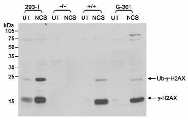 Western blot - gamma H2A.X (phospho S139) antibody (ab11174)