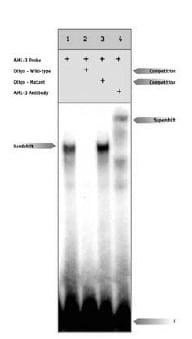 Western blot - RUNX2 antibody (ab11906)