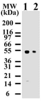 Western blot - Anti-Caspase-8 antibody (ab11919)