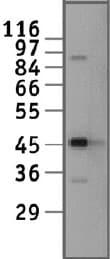 Western blot - CREB antibody (ab11924)