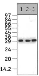 Western blot - HMGB2 antibody (ab11973)