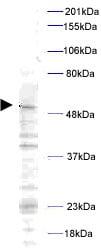 Western blot - Plk1 (phospho T210) antibody (ab12157)
