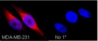 Immunocytochemistry/ Immunofluorescence - Ube1L antibody (ab12199)