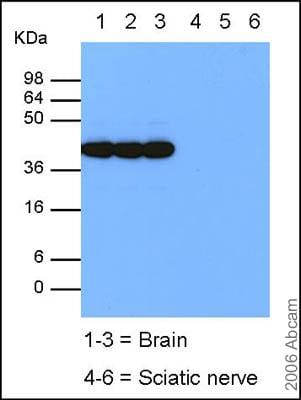 Western blot - GAP43 antibody - Neuronal Marker (ab12274)