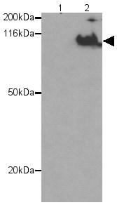 Western blot - Cdc27 (phospho T244) antibody (ab12281)