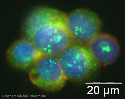 Immunocytochemistry/ Immunofluorescence - FIH/asparagine hydroxylase antibody (ab12289)