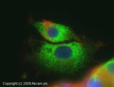 Immunocytochemistry/ Immunofluorescence - GRP94 antibody - ER Marker (ab13509)