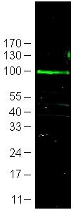 Western blot - FBX09 antibody (ab13670)