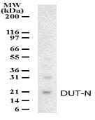 Western blot - DUT-N antibody (ab13690)