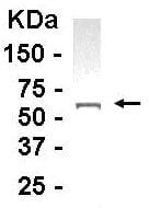 Western blot - APAF1 antibody (ab14228)