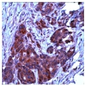 Immunohistochemistry (Formalin/PFA-fixed paraffin-embedded sections) - Anti-Bcl-XL antibody, prediluted (ab15276)