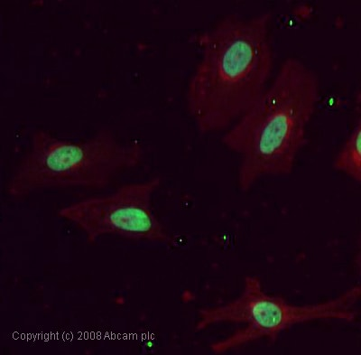 Immunocytochemistry/ Immunofluorescence - Histone H2A antibody - ChIP Grade (ab15653)