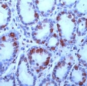 Immunohistochemistry (Formalin/PFA-fixed paraffin-embedded sections) - Gastrin antibody (ab16035)