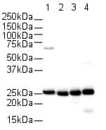 Western blot - Anti-Cyclophilin B antibody (ab16045)
