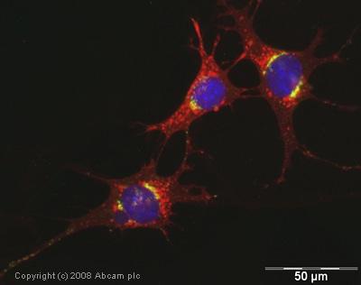 Immunocytochemistry/ Immunofluorescence - TGN46 antibody (ab16059)