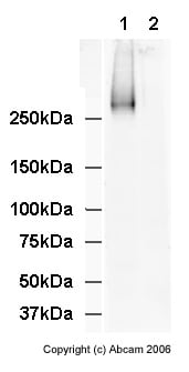 Western blot - TRA-1-60 (R) antibody [TRA-1-60] - Embryonic Stem Cell Marker (ab16288)