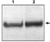 Western blot - Dab1 antibody (ab16674)