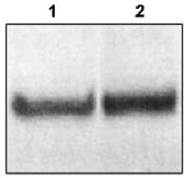 Western blot - Dab1 antibody (ab16675)