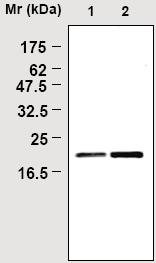 Western blot - Glutathione Peroxidase 4 antibody [1H11] (ab16739)