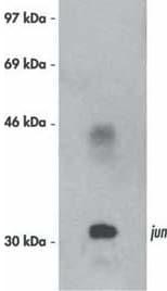 Western blot - c-Jun antibody [76] (ab16777)
