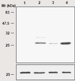 Western blot - Anti-Peroxiredoxin-SO3 antibody (ab16830)
