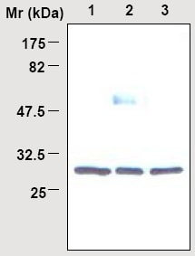 Western blot - 14-3-3 beta antibody [60C10] (ab16859)