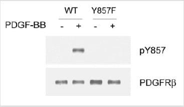 Western blot - PDGF Receptor beta (phospho Y857) antibody (ab16866)