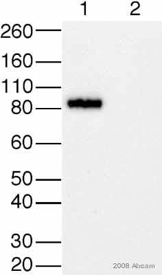 Western blot - SV40 T-antigen antibody [PAb416] (ab16879)