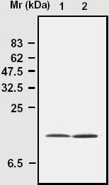 Immunoprecipitation - Superoxide Dismutase 1 antibody [8A1] (ab16950)