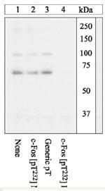 Western blot - c-Fos (phospho T232) antibody (ab17933)