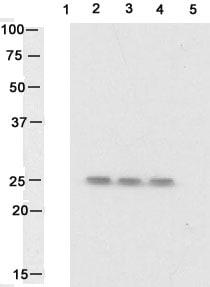 Western blot - Hsp27 (phospho S82) antibody (ab17937)