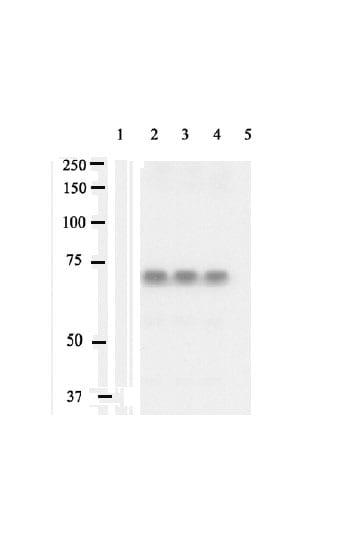 Western blot - SHP2 (phospho Y542) antibody (ab17939)