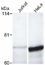 Western blot - Anti-PAK4 antibody (ab17974)
