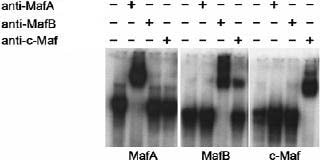 Electrophoretic Mobility Shift Assay - MAFA antibody - ChIP Grade (ab17976)