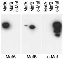 Western blot - Anti-MAFA antibody - ChIP Grade (ab17976)