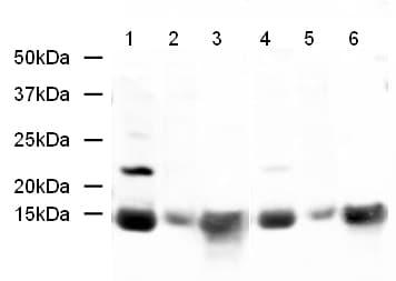 Western blot - Histone H2A antibody (ab18255)