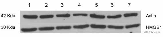 Western blot - HMGB1 antibody (ab18256)